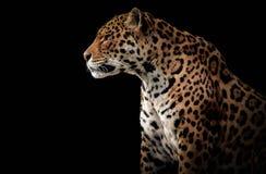 Perfil lateral de un jaguar fotos de archivo