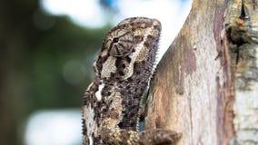 Perfil lateral del camaleón liso imagenes de archivo