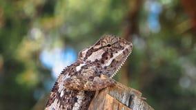 Perfil lateral del camaleón liso fotografía de archivo libre de regalías