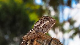Perfil lateral del camaleón liso imagen de archivo