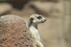 Perfil lateral do meerkat Foto de Stock