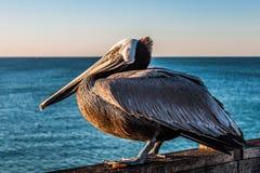 Perfil lateral do pelicano de Califórnia Brown no cais do perto do oceano Fotos de Stock