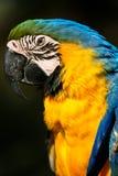 Perfil lateral do retrato de um papagaio das Amazonas Imagens de Stock