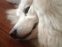 Perfil masculino soñoliento del perro del samoyedo en piso imagenes de archivo