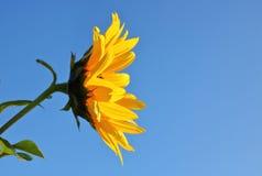 Perfil Mini Sunflower Imagen de archivo libre de regalías