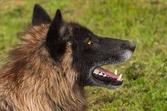 Perfil negro del lupus de Grey Wolf Canis de la fase Imágenes de archivo libres de regalías