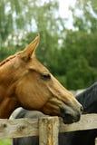 Perfil novo da égua Imagem de Stock Royalty Free