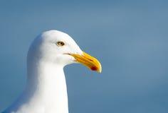 Perfil ocidental da gaivota Fotografia de Stock