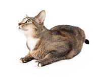 Perfil oscuro de Tan Adult Cat Laying Body Imagen de archivo