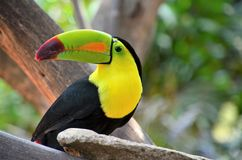 Perfil portrait of tucan. A perfil of a tucan royalty free stock photos