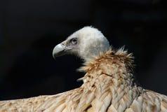 Perfil principal da águia no preto Imagens de Stock Royalty Free