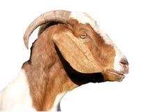 Perfil principal de la cabra Foto de archivo libre de regalías