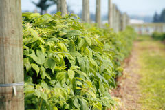 Perfil que amadurece plantas de morango Foto de Stock Royalty Free