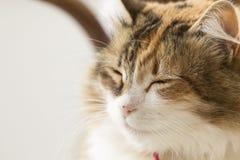 Perfil Semi- de um gato tricolor com olhos fechados e espaço da cópia imagens de stock royalty free