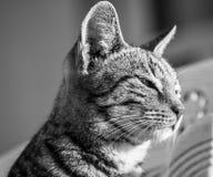 Perfil soñoliento del lado del gato Fotografía de archivo