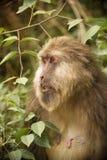 Perfil tibetano del lado del Macaque de la hembra adulta Fotografía de archivo libre de regalías
