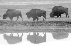 Perfil y reflexión de tres bisontes Fotografía de archivo libre de regalías