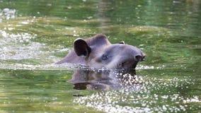 Perfile el retrato del tapir suramericano en el agua Imagen de archivo libre de regalías