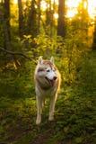 Perfile o retrato do cão com os olhos marrons que estão na grama verde no fundo do por do sol e no luminoso ensolarado amarelo foto de stock
