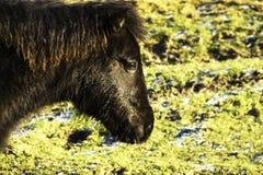 Perfile o tiro principal do pônei selvagem de Exmoor em um reservat da natureza em Dinamarca Fotografia de Stock