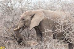 Perfile a opinião um elefante africano que come ramos de árvore com espinhos imagem de stock