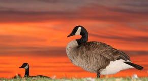 Perfis dos gansos com por do sol Imagem de Stock Royalty Free