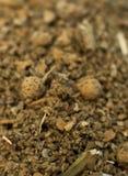 Perfoliata de Salvia de bolita Buddleia Foto de archivo