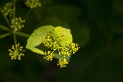 Perfoliatum de Smyrnium Images libres de droits