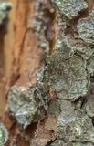 Perforadores acanalados de acoplamiento del pino, inquiridor del rhagium en la madera Foto de archivo libre de regalías