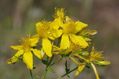 Perforate St John's-wort Royalty Free Stock Images