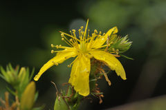 Perforate St John's-wort Stock Photography