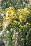 Perforate St John`s-wort on a Meadow stock image