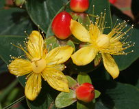 Perforatum de Hypericum Photos stock
