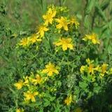 Perforatum de Hypericum, johanniskraut, fleurs au yel sec d'emplacements Images libres de droits