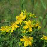 Perforatum de Hypericum, johanniskraut, fleurs au yel sec d'emplacements Image libre de droits