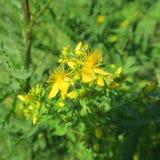 Perforatum de Hypericum, johanniskraut, fleurs au yel sec d'emplacements Photographie stock libre de droits