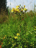 Perforatum del Hypericum en el prado imagenes de archivo