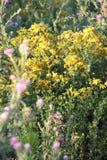 Perforeer St John ` s-wort op een Weide stock afbeelding