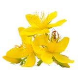 Perforeer St johns-Wort Bloemen op Witte Achtergrond worden geïsoleerd die Royalty-vrije Stock Afbeeldingen