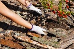 Perform que cubre con pajote alrededor de las plantas Trabajo en el jardín imagen de archivo libre de regalías