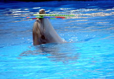 Performance in the Black Sea dolphins dolphin Stock Images