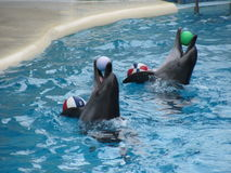 Performance of a dolphin in an aquapark. Close view of dolphins playing with balls in the waterpool Stock Photo