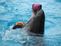 Performance of a dolphin in an aquapark. Close view of dolphin playing with ball in blue water Royalty Free Stock Image