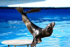 Performance of sea-bear sea-lion Royalty Free Stock Image