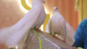 Performance of white doves. Performance of trained white pigeons stock video