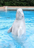 Performing Beluga Whale Royalty Free Stock Images
