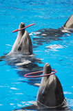 Performing Dolphin Royalty Free Stock Photos
