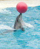 Performing dolphin with red ball Stock Image