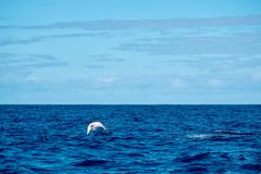 Performing dolphin in the wild. A spotted dolphin in the Atlantic near Pico Island, Azores, having fun Stock Photography