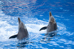 Performing dolphins. Two bottle nose dolphins performing at an aquarium Royalty Free Stock Images